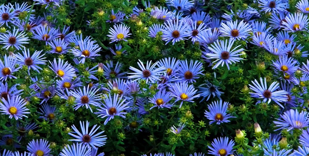 September Flower Of The Month Aster Fran 39 S Flowers